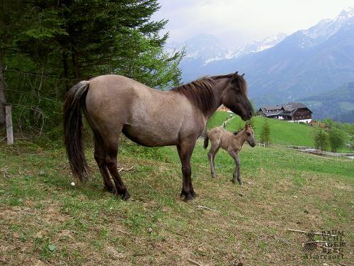 g-bauernhof-stute-fohlen-pferd-streicheln-reiten-pony-ferien-berge